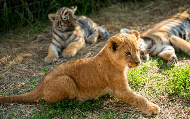 managing your stress triggers lions and tigers